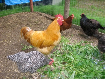L to R: Barred Rock hen, Buff Orpington rooster, Rhode Island Red hen and an Australorp hen