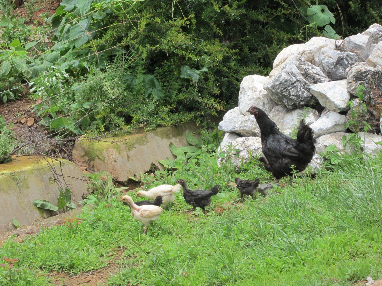 Backyard Chickens Breeds : Recommended Breeds ? Alaska Backyard Chickens