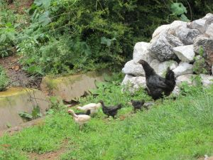 Black Langshan hen with chicks, Lugu Hu, Yunnan Province
