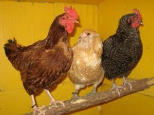 Rhode Island Red, Aracuna, Cuckoo Moran
