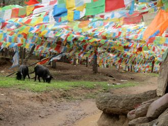 No bacon-on-the-hoof at Ringha Temple