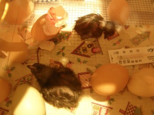 Just-hatched chicks